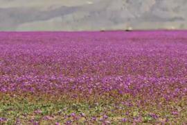 Тысячи цветов усеяли пустыню Атакаму