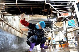 Вьетнам запретил фермы по производству медвежьей жёлчи