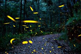 Волшебное шоу светлячков озаряет леса Мексики