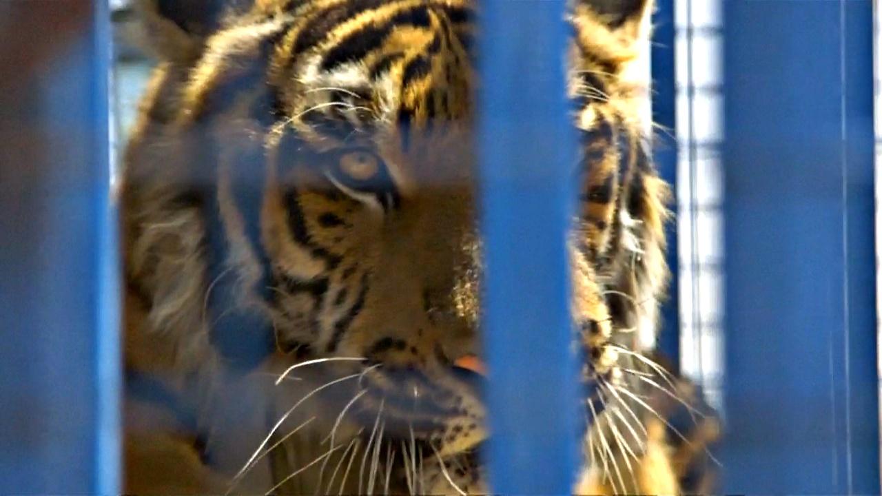 Львов и тигров из разрушенного зоопарка Алеппо вывезли в Турцию