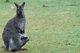 Число редких кистехвостых скальных валлаби в Австралии растёт