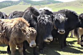 Фестиваль яков прошёл в монгольской долине Орхон