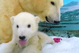 Белый медвежонок обживается в вольере с ледяной стружкой