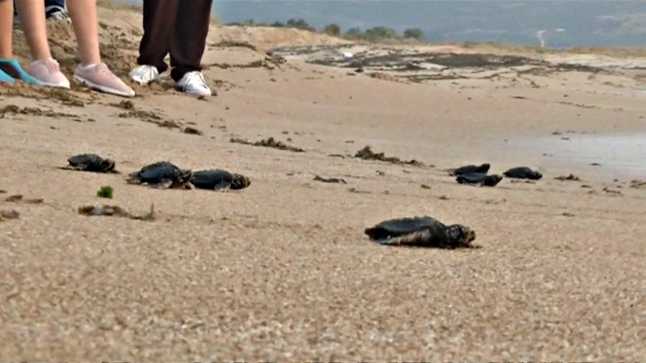 Ливанская активистка защищает морских черепах от вымирания