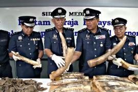 Изъятие контрабанды в Малайзии: слоновьи бивни и чешуя панголинов