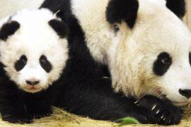 Знаменитым пандам-близнецам в зоопарке Вены исполнился год