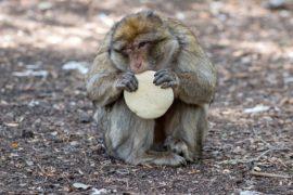 На острове Ява обезьяны нападают на людей и крадут пищу