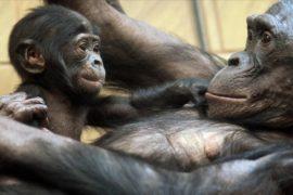 Новорождённый шимпанзе бонобо – звезда зоопарка Бельгии