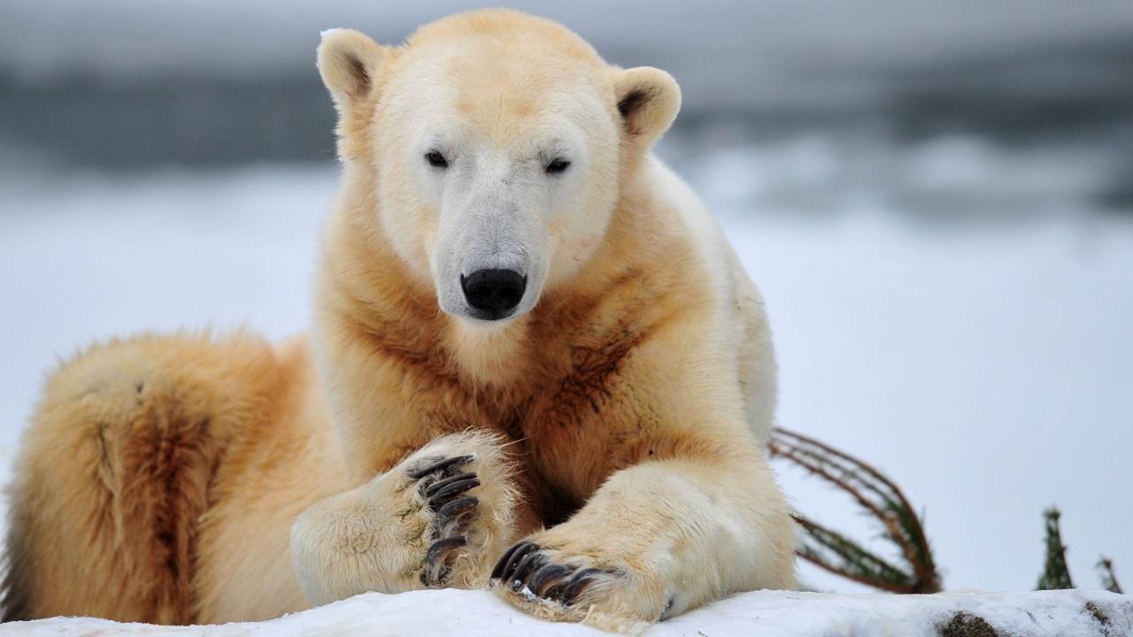 Животные Арктики первые ощутили на себе влияние глобального потепления