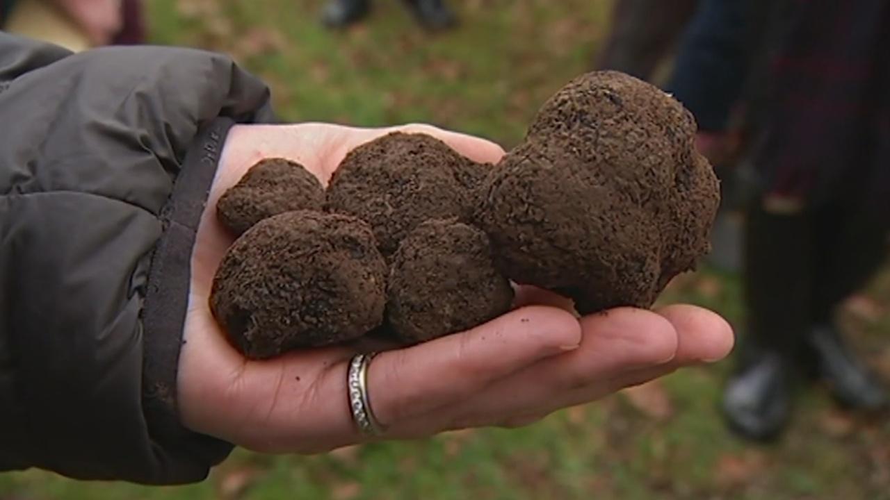 Трюфели Тасмании завоёвывают популярность