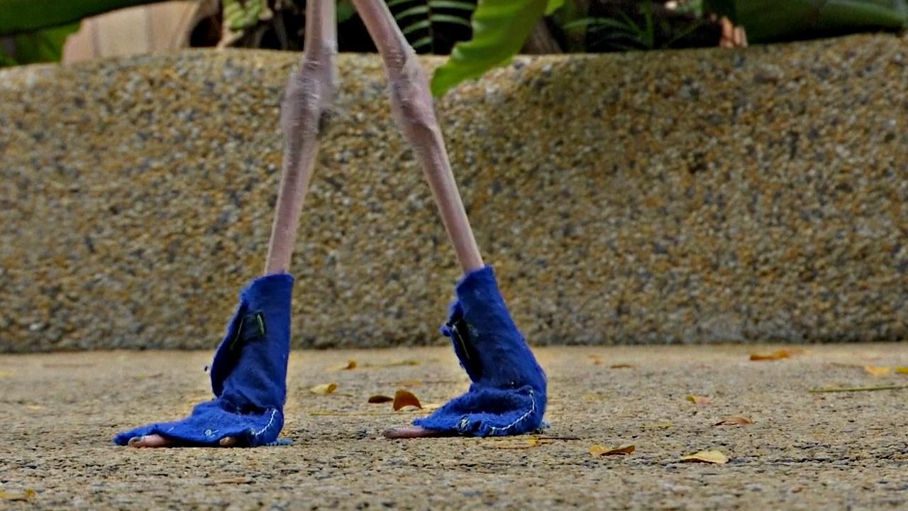 По сингапурскому парку птиц гуляет фламинго в синих ботинках