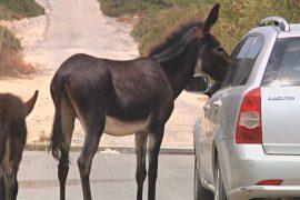 Одичавшие из-за разделения Кипра домашние ослы голодают
