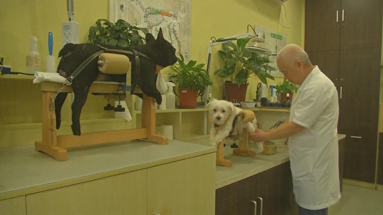 В Китае кошек и собак лечат иглоукалыванием