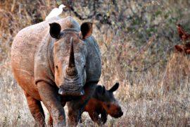 Первый легальный аукцион по продаже рогов носорогов пройдёт в ЮАР