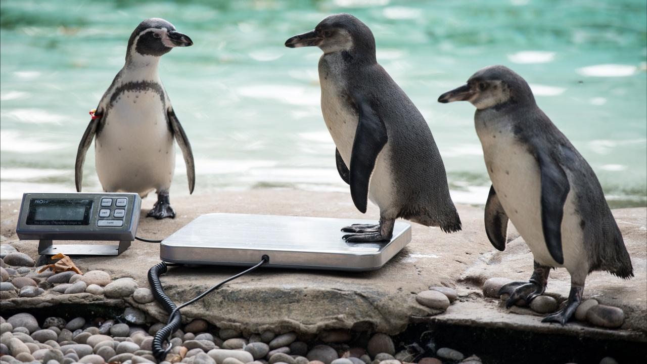 В Лондонском зоопарке проходит тотальное измерение животных