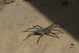 Гигантскому альпийскому пауку грозит вымирание из-за изменения климата