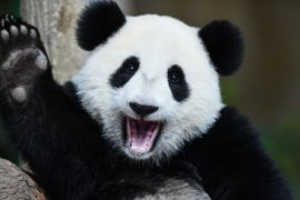 Детёныш панды в зоопарке Токио теперь зубастый