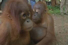 В Таиланде выхаживают двух контрабандных детёнышей орангутана из Индонезии