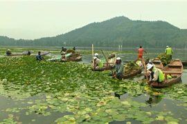 Знаменитое озеро Дал в Кашмире очистят от кувшинки