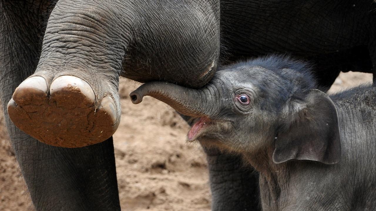 «Это мальчик!»: в зоопарке Бельгии родился слонёнок