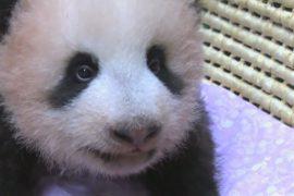 Губернатор Токио сообщила имя малышки-панды из зоопарка Уэно