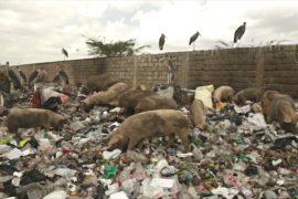 Фермеры Найроби пасут свиней на крупнейшей в Кении свалке