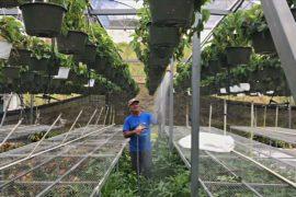 Солнечные батареи спасли теплицы пуэрториканца после урагана «Мария»