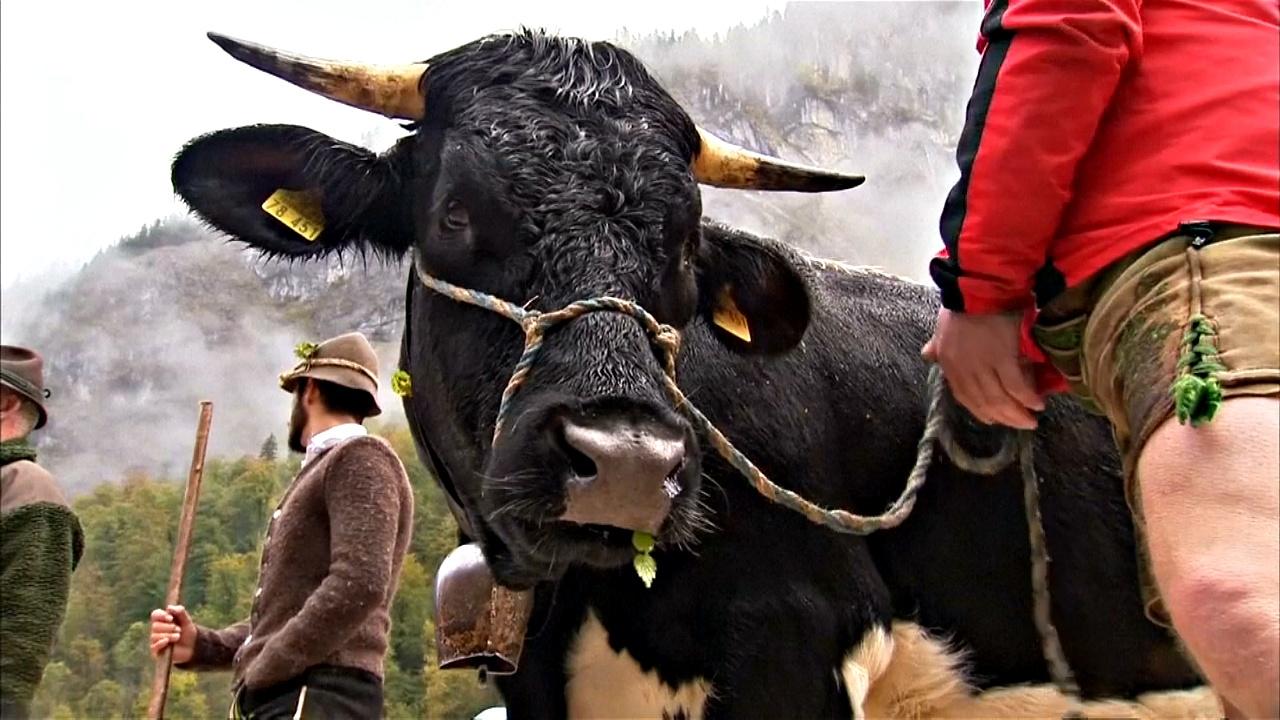 Праздник в Баварии: коров отгоняют с лугов в зимний хлев