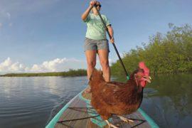 Курица из Флориды полюбила водные прогулки