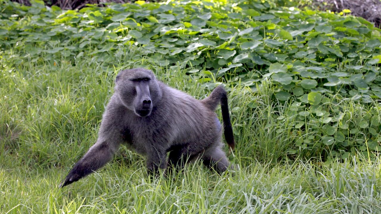 В ЮАР от нашествия бабуинов спасаются виртуальным забором