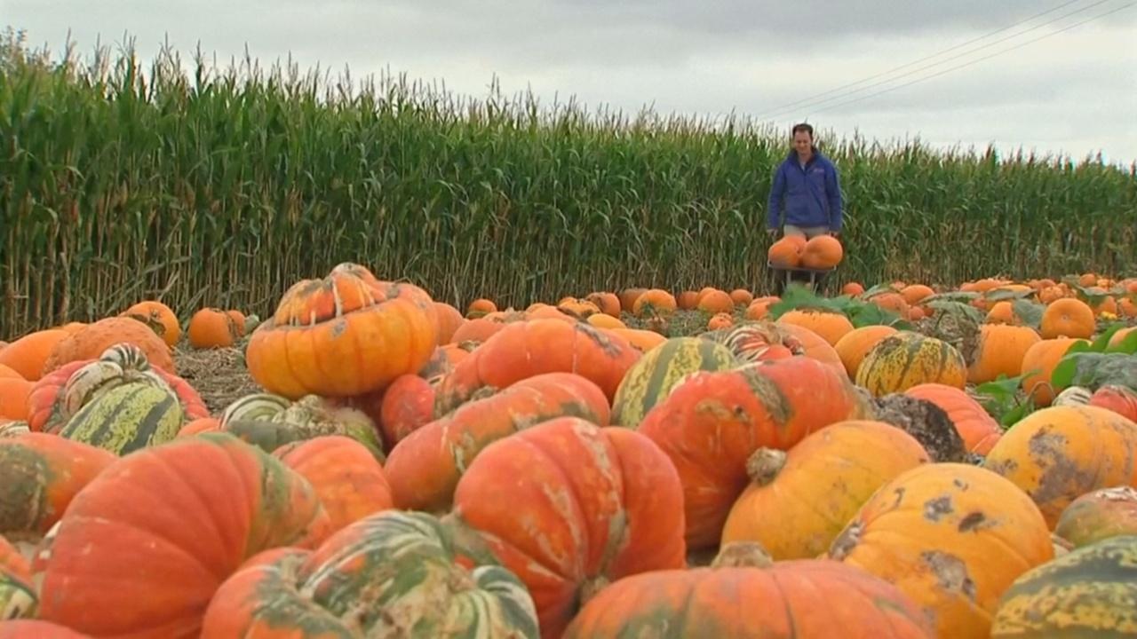 Британские фермеры собирают тыквы перед Хэллоуином