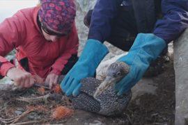 Активисты спасают запутавшихся в сетях северных олушей