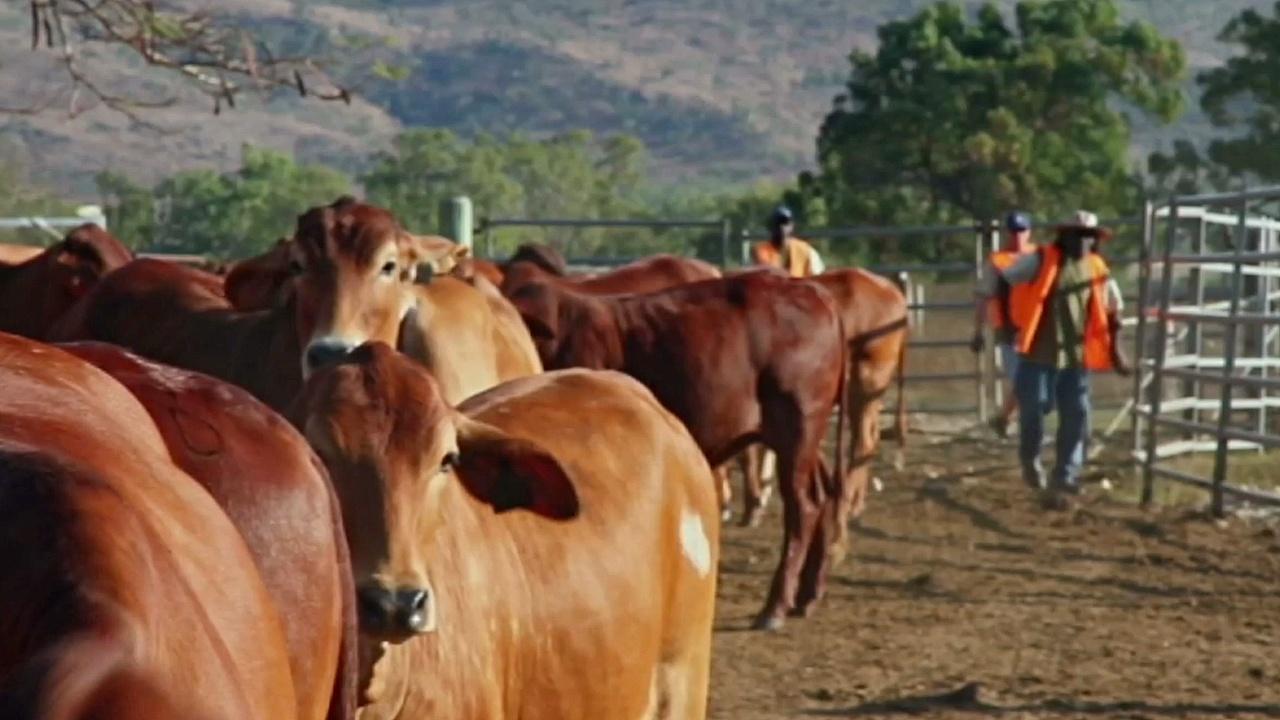 Заключённые учатся пасти коров ради своего будущего