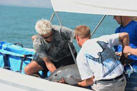 Учёные разных стран объединились для спасения редких морских свиней