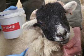 Сократить кражи скота помогут микроточки
