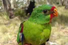 Учёные в Австралии создали безопасные гнёзда для попугаев