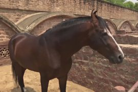 Редких лошадей марвари успешно разводят в Индии