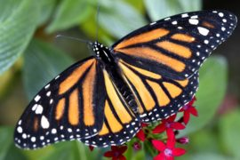 Миллионы бабочек монарх прилетели на зимовку в Мексику