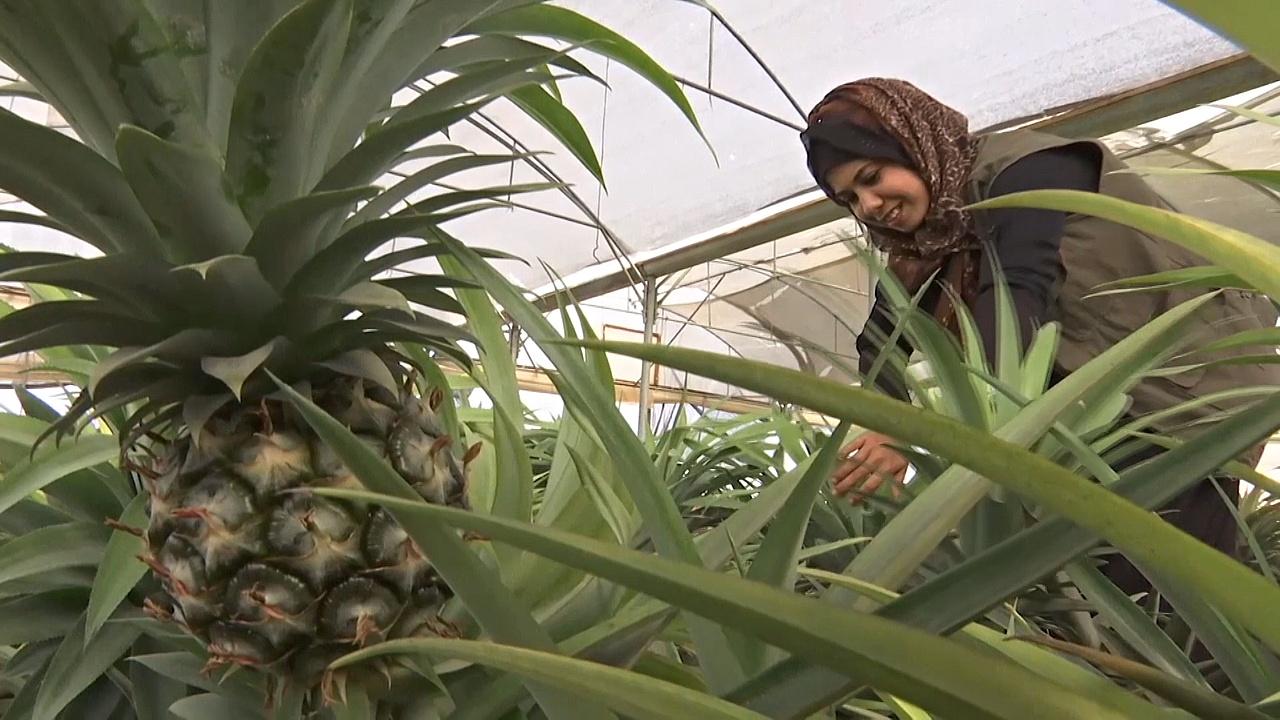 Местные ананасы в секторе Газа стали хитом