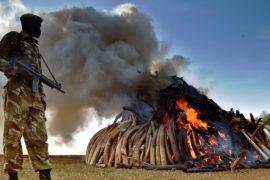 СИТЕС: африканские слоны – по-прежнему под угрозой исчезновения