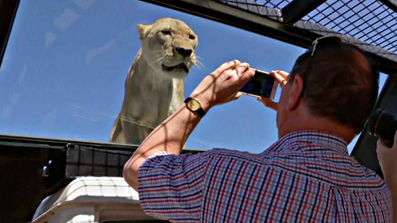 Поменяться местами со львами предлагают в сафари-парке