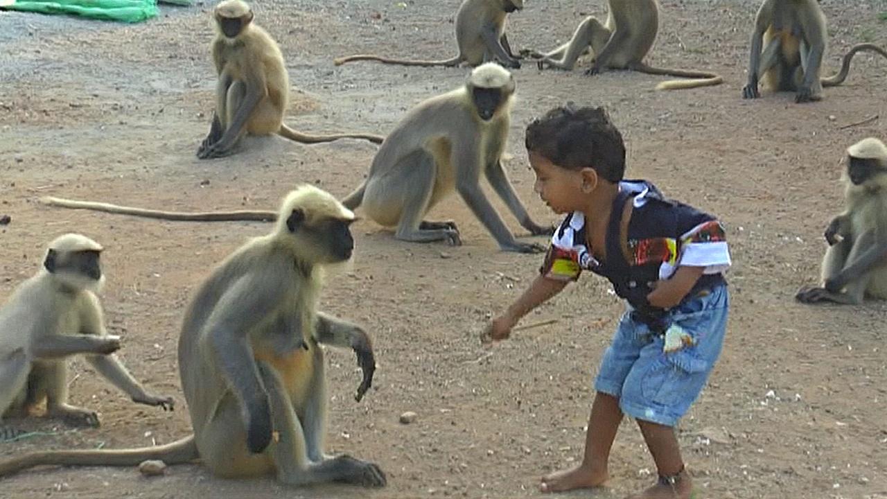 Маленький индийский мальчик дружит с дикими обезьянами