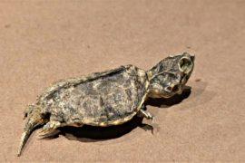 В Мексике обнаружена окаменелость черепахи возрастом 65 млн лет