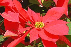 Рождественская пуансеттия – прибыльный мексиканский цветок