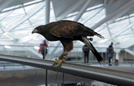 Хищные птицы отпугивают лондонских голубей
