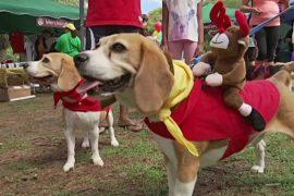 200 биглей собрались на рождественскую прогулку в Австралии