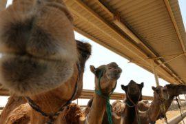 Первая в мире больница для верблюдов открылась в ОАЭ