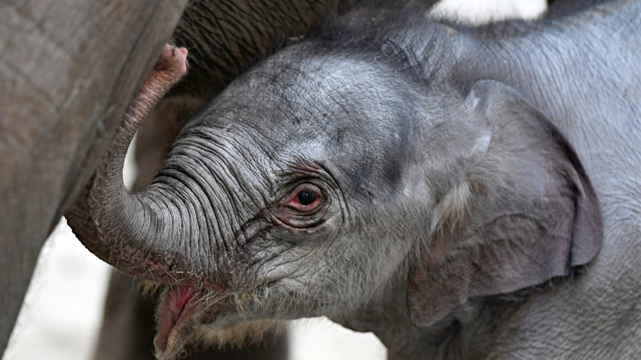 Подарок к Рождеству: в бельгийском зоопарке родился слонёнок
