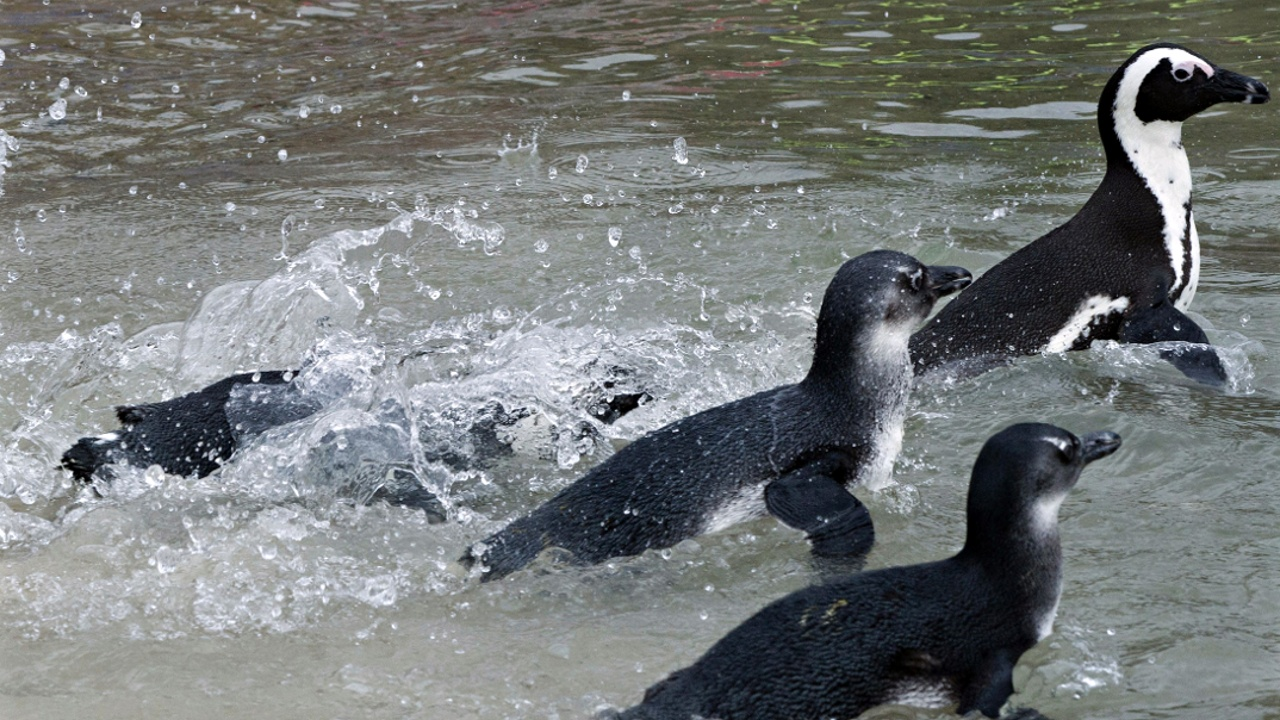 В ЮАР команда наблюдателей спасает очковых пингвинов