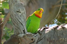 Роскошные баррабандовы попугаи переселяются ближе к Канберре
